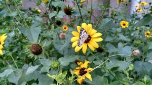 Butterfly Pollinating On Yellow Flower In Plant