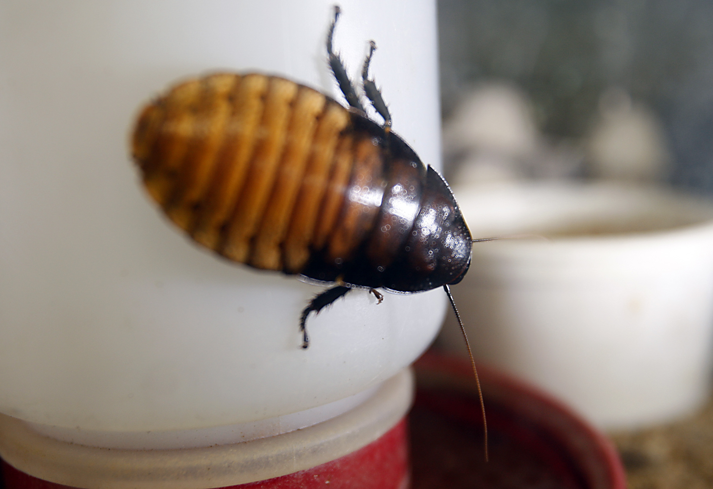 A hissing roach grows in a terrarium at Rainbow Mealworms and Crickets, one of the largest wholesal