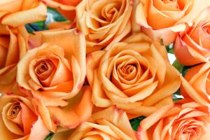 Orange roses bundle