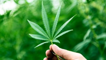 Hand Holding Marijuana Leaf with Cannabis Plants in Background