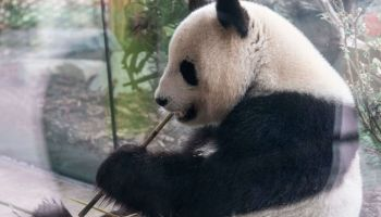 GERMANY-ANIMALS-ZOO-PANDA
