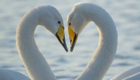 Swans Appear To Make Heart Shape